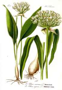 Wild garlic illustration