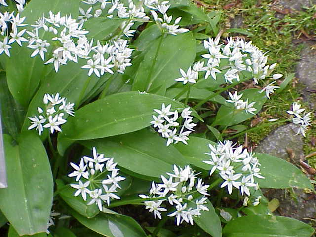 wild garlic photo 1